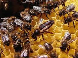 2019 Mated Mellifera Mellifera Queens from £36 deposit £5