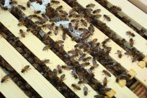 Beckys Bees - Queen Introduction 2